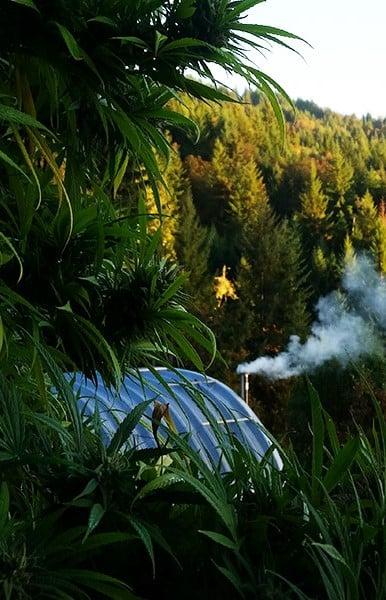 growing marijuana in the jungle