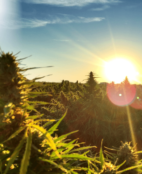 Cannabis growing in the sunrise